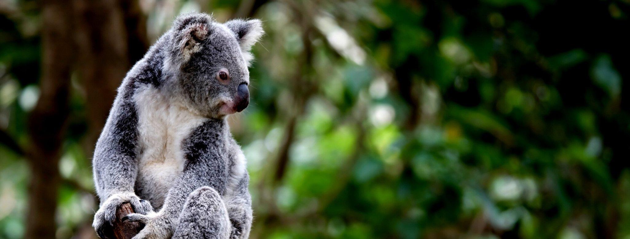 Koala, Great National Koala Park, Bellingen Shire, New South Wales