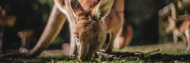 Kangaroo, Jervis Bay, New South Wales